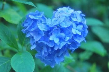 しとしと雨が続く6月。ちょっぴり憂鬱な気分になりがちですが、古都鎌倉では紫陽花が見事に咲き誇っています。