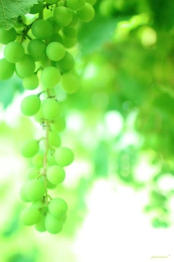 陸乃宝珠は、契約農家や自社農園で手間暇かけて育てた新鮮なマスカットの中から、厳選した粒だけを使用したとても贅沢なお菓子です。  選ばれた果実を、皮や種ごと一粒ずつ求肥でくるむ丁寧な手仕事によって、宝石のような美しい和菓子に。生のマスカットを使用しているからこそ感じることのできる、みずみずしい果汁が口に広がります。酸味と甘みのハーモニーがたまらない、大人気のフルーツ菓子です。