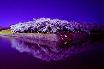 夜にはライトアップもされるので、好きな時間に腰を据えてジンギスカンと共に、北海道ならではの桜を味わうのもよし、他の観光と合わせてぶらぶらお散歩しながら、桜を愛でるのもよし。  ぜひ旅程に組み入れたい、春ならではの風景です。