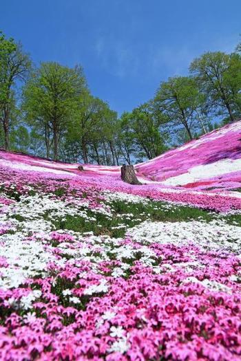 小高い丘に囲まれた立地なので、満開の時期に公園の中にたたずむと、まるで芝桜の絨毯に包まれたような、圧巻の景色を味わえます。  撮影場所の一番人気は、高台にある「展望台」。芝桜公園のほぼ全体を、写真におさめることができますよ。  そしてこのように、下から見上げるあおり視点で撮影するのもおすすめ。臨場感が伝わってきますね。