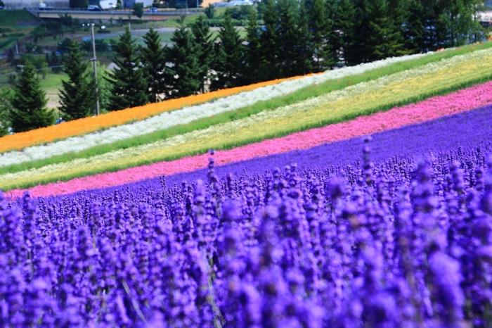 ちなみに、ラベンダーは茎の先端に花が密集するとがった形状のため、近くで見下ろすと隙間から地面などが見えやすく「一面に広がる紫」のイメージとはかけ離れて感じることも。  楽しみ方のコツとしては、丘の上から見下ろしたり、ラベンダーの花の位置まで目線を下げるのが◎。  写真撮影も、このポイントを押さえれば、この風景を目にした時の感動をそのまま手元に残しておくことができます。