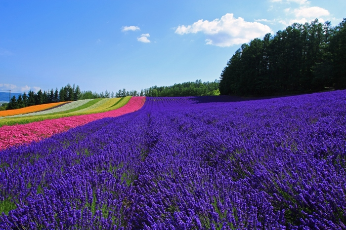 CMや雑誌でもおなじみの、富良野のラベンダー畑。その美しい紫色の絨毯を愛でるべく、日本最大級のラベンダー畑を有する「ファーム富田」にはなんと年間100万人の観光客が訪れます。  ラベンダーの見ごろは7月中~下旬。ちょうど夏休み時期との重なるので混雑必至のスポットだからこそ、狙い目は早朝。ファーム富田は24時間出入りが可能ですが、特に10時ごろからはバスツアーなどの立ち寄りも増えるので、遅くとも8時までに訪れるのがオススメです。  人が少なく、ゆったり散策や写真撮影が楽しめる上に、早朝はラベンダーの花が閉じているため、ギュッと紫が濃くなり、より鮮やかな景色を堪能できますよ。