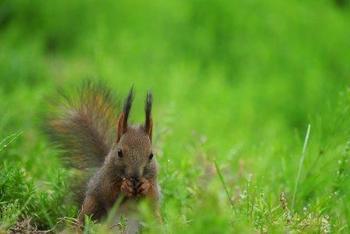 さらにもう一つ、耳より情報を。  運がよければ園内で、こんなかわいいエゾリスに出会えるチャンスに恵まれるかもしれません・・!