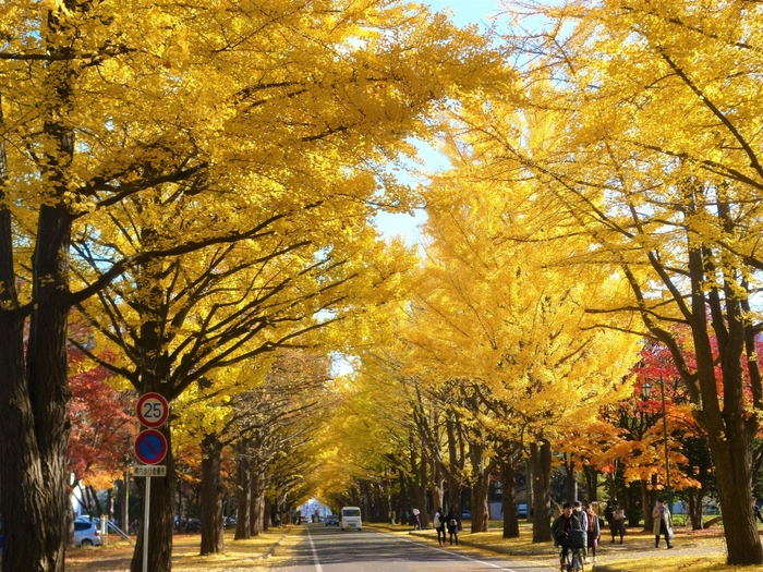 限られた時間で北海道ならではの紅葉を手軽に楽しみたい、という方にオススメなのが、北海道大学のイチョウ並木。この地域ではよく知られている、穴場スポットですよ*