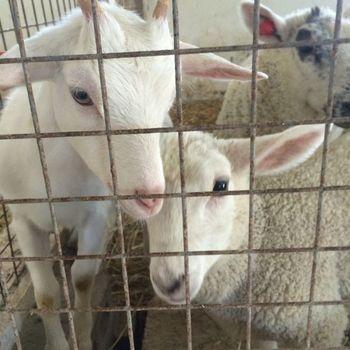 ヒツジやヤギ、牛、馬、うさぎ、鶏など、広い敷地の中でさまざまな動物に触れ合えるハイジ牧場。子ヤギや子牛にミルクをあげたり、乳搾りをしたりなど都会ではなかなかできない貴重な体験ができます。
