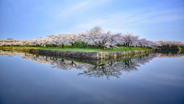 函館にある「五稜郭」は、江戸時代に建造され、星型にかたどられた城郭がとても有名は公園。無料で入場できますよ。  その五稜郭ですが、函館有数のお花見スポットなんです。城郭の中や周りをぎっしりと埋め尽くすように咲き誇るのは、1600本ほどの桜!その光景を一目見ようと、毎年4月下旬~5月中旬の時期は地元の方々や観光客でにぎわいます。
