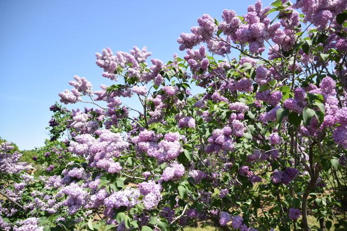 そして大通り公園には・・・このようなライラックの木が400本!  ライラックは、小さな花が房のように密集して、高く育った木々から零れ落ちそうに花開く姿が美しいお花。北海道の⽅々にはとても⾝近で愛されているお花の⼀つで、春に満開を迎えます。  5月中旬~下旬には「さっぽろライラックまつり」が開催され、紫・白の可憐で小さな花をたくさん、間近に楽しむことができますよ。さらに、フードブースも登場します。ライラックの優しい香りに包まれて、ワインやカフェめしなどをいただけるのも、北海道の春ならでは、ですね。