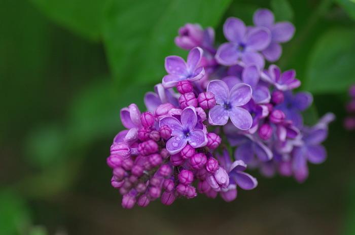 「ライラック」について、ここで、ちょっと心ときめく豆知識を*  ちなみに、ライラックのお花一つ一つは筒状の形状をしており、花が開くと、その花びらは通常4枚なのですが・・・たまに5つに裂けているものも。  これは「ラッキーライラック」と呼ばれ、幸せを呼ぶものとされていたり、恋のおまじないに使われるんだとか・・・。「ラッキーライラック」を探しながらお花を愛でるのも、楽しそうですね。