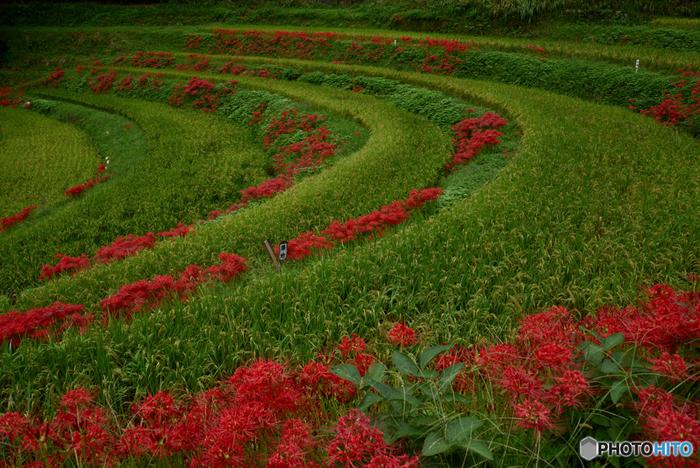 稲渕の棚田は明日香村における彼岸花の群生地としても知られています。秋になると、棚田の畔に彼岸花が咲き誇り、美しい風景に華を添えています。