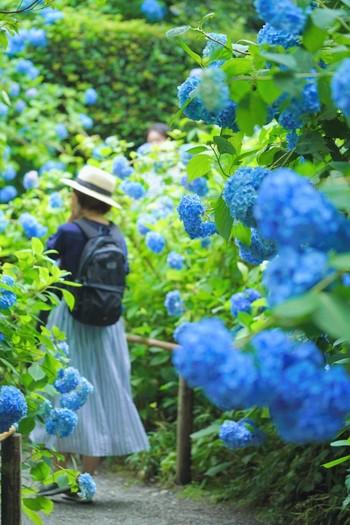お寺や公園であじさいを眺めながらお散歩するのもおすすめです!鎌倉の明月院は「あじさい寺」として有名ですし、せっかくなら同じ鎌倉にある長谷寺にも足を運んでみるのも良いでしょう。