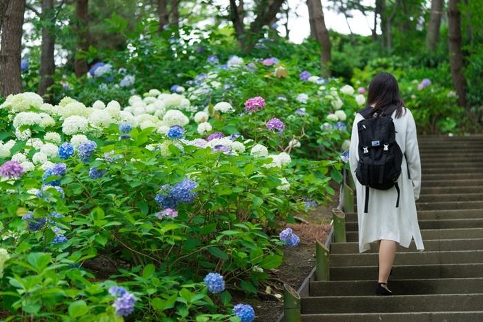 """この季節は、都内にある白山神社や高幡不動尊金剛寺を始め、全国各地で""""あじさい祭り""""が開催されています。お近くで開催中のあじさい祭りをチェックして、梅雨ならではの美しい景色を堪能してみませんか?"""