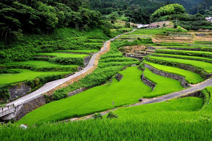 緑色の絨毯を敷き詰めたような棚田と、石積みの畔のコントラストが美しく、井仁の棚田ではどこを切り取っても絵になる景色が広がっています。