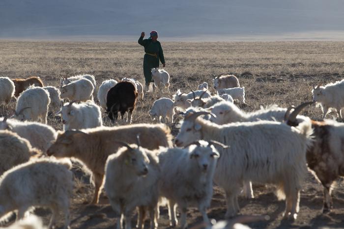 生産地であるモンゴルは「乾燥した空気」「標高」「遊牧文化」などが揃い上質なカシミアを生産する理想的な環境。GOBIで使用しているカシミアは、モンゴルの放牧民たちが自然放牧のカシミアヤギを一頭一頭、手でやさしく梳いて集めたプレミアムな毛を使用しています。羽のような軽さで、耐久性に優れた特徴を兼ね揃えた贅沢なカシミア。世界のファッション業界でも、絶大な人気を誇る素材として注目を集めています。