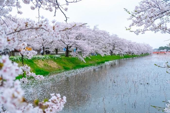 最初にご紹介したいのは、日本三大桜ともいわれている「高田城」の桜。新潟県上越市に位置し、4月上旬から中旬には、高田公園とその周辺で、約4000本もの桜を眺めることができます。その光景は、春のわずかな時期しか見ることのできない、まさに絶景*  公園内では、屋台が出ているので、友達と一緒に食べ歩きながら桜を堪能するのがオススメ。なかでも、新潟名物、蒸気でふわふわ・もちもちな食感が美味しい「ポッポ焼き」が人気ですよ。