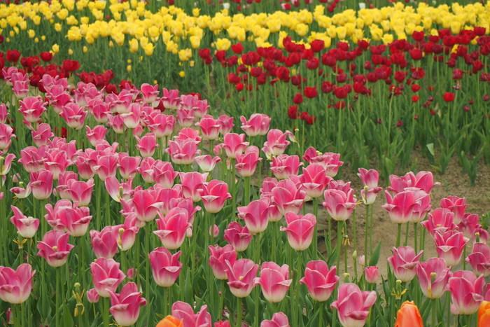 カラフルな色、定番のものから少し変わった種類のものなど、様々なチューリップを一度に楽しめるのも、ここならではの魅力。  見頃の時期は、土日を中心に、クラフト教室や、チューリップの花絵展示などのイベントも開催されています。