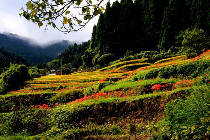 つづら棚田は彼岸花の群生地でもあります。初秋になると棚田の畔には深紅に彩る彼岸花約50万本が咲き誇ります。黄金色に輝く稲穂と深紅に花を咲かせ彼岸花のコントラストの美しさは格別です。