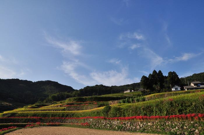 内成棚田では四季折々で美しい風景を臨むことができます。秋になると畔に深紅の彼岸花が花を咲かせ、黄金色に輝く稲穂の美しさに華を添えています。