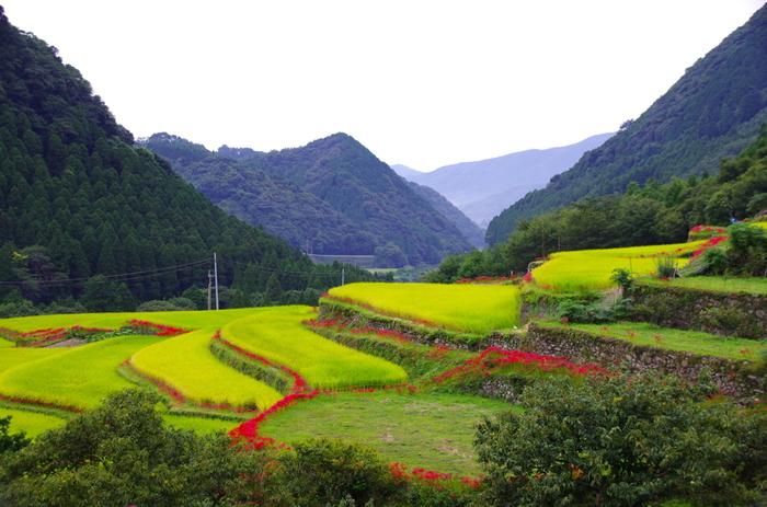 番所地区は、熊本県随一の彼岸花の名所としても知られています。毎年9月中旬から下旬にかけて棚田の畔に深紅の彼岸花が競うように花を咲かせる様は、古き良き日本の里山風景そのものです。