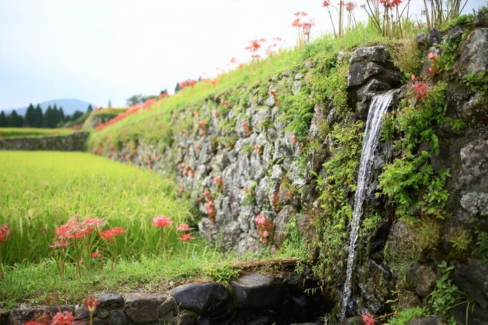 坂元棚田の歴史は比較的浅く、昭和初期に開墾されました。そのため、畦道がよく整備され棚田のすぐ近くの石垣を臨むことができます。水田へ注ぎ込む用水のせせらぎ音に耳を澄ませながら、風が吹くたびに揺れ動く稲穂を眺めながらのんびりとカメラを構えてみてはいかがでしょうか。