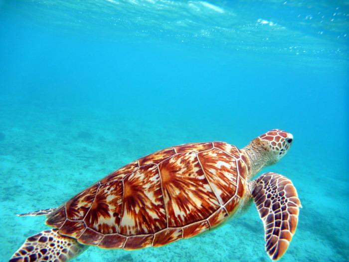 阿真ビーチもウミガメの生息地として知られています。程よい距離をとりながら、ウミガメと一緒にのんびりと泳いでみてはいかがでしょうか。