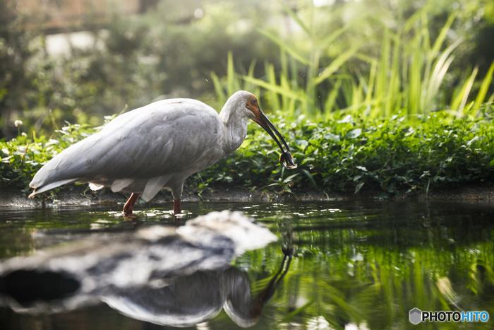 佐渡島に来たら、ぜひ併せて訪れたいのが、「トキの森公園」。自然界にはまだ300羽しかいないトキを、自然に近い環境で見ることができるんです*  リラックスしてゆったりと飛行する姿や、食事中の様子を見られるのも、ここならでは。トキに会える、日本に数か所とない施設ですので、ぜひ立ち寄ってみてはいかがでしょうか。