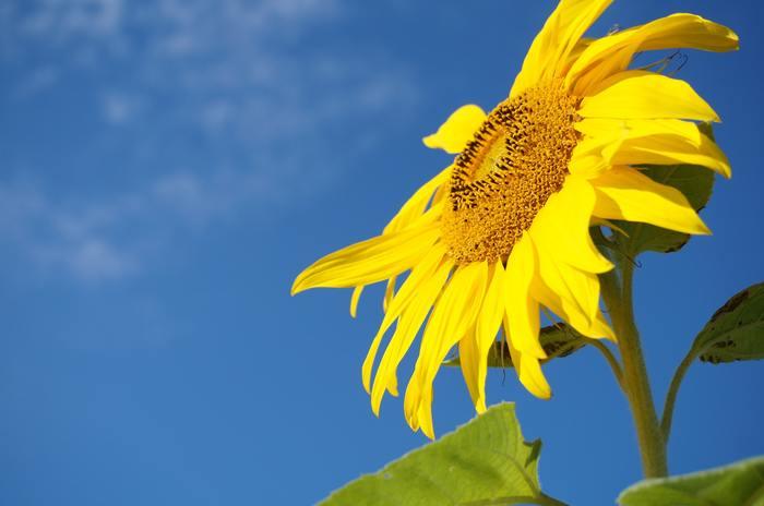 夏らしい花と言えば、太陽に向かってぐんぐん伸びるひまわりですね。最近は色味や形、大きさも幅広く、個性豊かなひまわりが増えています。水揚げは良いほうですが、一日に一度切り戻しをしてあげるとより長持ちします。選ぶ時は、細く締まった茎のものが良いそうですよ。