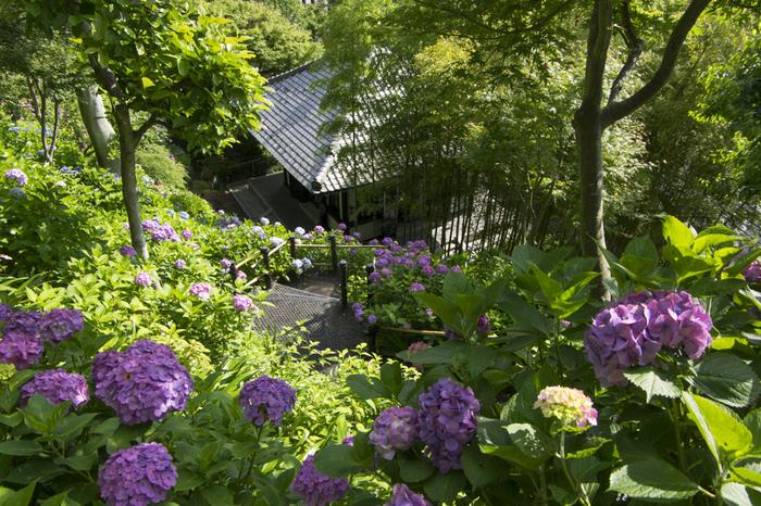 眺望散策路では、約2500株もの紫陽花と相模湾や鎌倉の街並みを一度に楽しむ事ができます。一度は訪れておきたい、何とも贅沢な場所です。