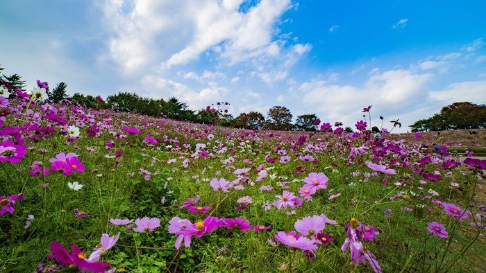 四季折々で美しい景色を見せてくれる国営昭和記念公園は、総面積165.3ヘクタールの敷地を誇る国営公園です。毎年9月上旬から10月下旬にかけて公園内にある「花の丘」「原っぱ東花畑」「原っぱ西花畑」の3か所で約550万本のコスモスが咲き誇ります。