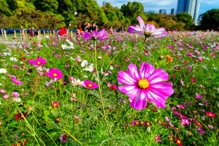 キバナコスモスの見頃が終わる時季になると、濃淡ピンク、白色のコスモスが次々と開花します。浜離宮恩賜庭園は、都心に居ながら一面のコスモス畑を見渡せるスポットとして大勢の鑑賞客で賑わっています。
