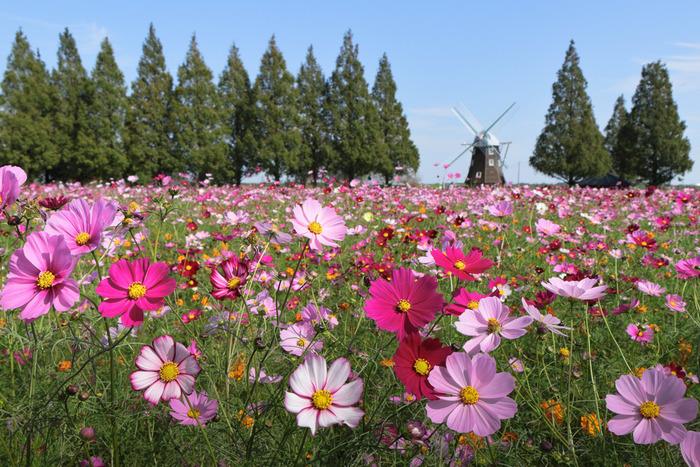 たくさんの見どころがあるあけぼの山農業公園ですが風車広場の美しさは格別です。抜けるような青空、風車、背の高い緑の樹々、一面に広がるコスモス畑が融和した景色は、まるでヨーロッパの田園風景のようです。
