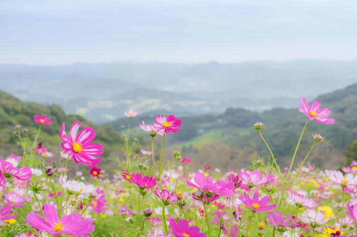 南房総国定公園内に位置しており、「房総の魅力500選」に選定されているマザー牧場は、花々の鑑賞、動物たちとのふれあい、味覚狩り、アドベンチャー、遊園地、手作り体験ができる総合エンターテイメント施設です。広大な敷地には、四季折々で美しい彩りを見せてくれる花々が植栽されており、秋になると一面のコスモス畑が現れます。