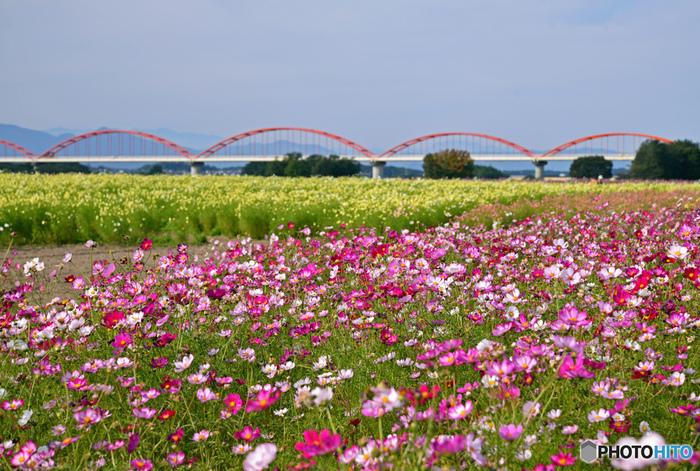 埼玉県鴻巣市を悠然と流れる荒川の河川敷約8.9ヘクタールの敷地は「荒川コスモス街道」と呼ばれており埼玉県でも指折りのコスモス畑として知られてきます。