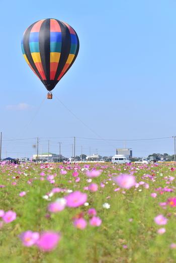 コスモスが見頃を迎える10月中旬頃になると「よしみコスモスまつり」が開催されます。コスモス畑の上空には大きな熱気球が浮かび、楽しいひとときを過ごすことができます。