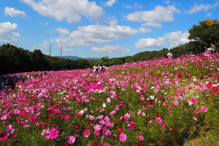 1970年に日本万国博覧会が開催された跡地に造られた万博記念公園は、繁華街として賑わう大阪市街地から1時間足らずでアクセスできる花の名所として知られています。四季折々で美しい花々のイベントが開催され、秋になると公園内の自然文化園は一面のコスモス畑へと変貌します。