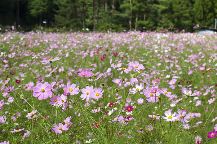 大阪府北部の山間に位置するとよのコスモスの里は、敷地面積約1ヘクタールのコスモス園です。毎年9月初旬から10月下旬にかけて次々とコスモスが開花し、その数は約100万本に及びます。
