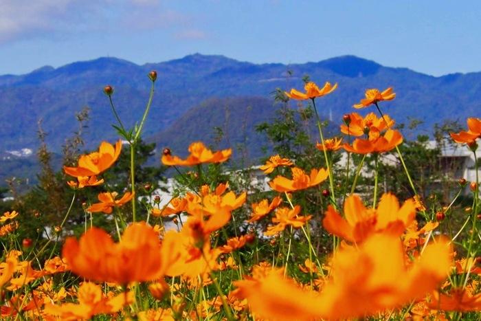 毎年10月頃になるとコスモスが次々と開花し、その数は約550万本に及びます。武庫川髭の渡しコスモス園からは、兵庫県神戸市街地を一望できる展望台、六甲山系を一望することもできます。抜けるような秋空の下で、山々と美しい花々を鑑賞しながらのんびりと過ごしてみてはいかがでしょうか。