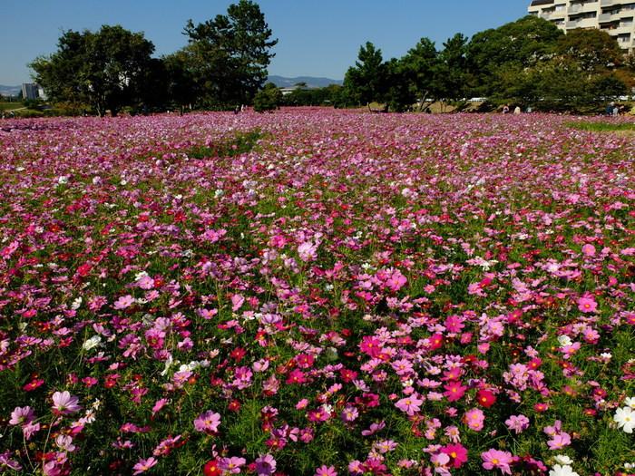 武庫川髭の渡しコスモス園は、兵庫県尼崎市を流れる武庫川の河川敷にある花の名所です。ここは、かつてゴミの不法投棄などで荒れ果てていた河川敷でしたが、地元住民とボランティアの人々の努力によって美しいコスモス畑へと変貌した場所です。