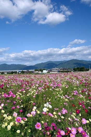 日本を代表する観光地、京都市に隣接した亀岡市に位置する夢コスモス園は、近畿地方において最大級の規模を誇るコスモス園です。約4.2ヘクタールの敷地には、なんと800万本ほどのコスモスが開花し、亀岡市ののどかな田園風景に華を添えています。