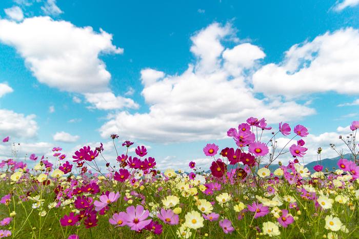 夢コスモス園では、約20品種のコスモスが植栽されています。そのため、早咲きのコスモスが見頃を終える頃になると異なる品種のコスモスが見頃を迎え、比較的長期間にわたってコスモス鑑賞を楽しむことができます。
