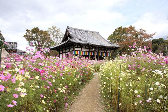 京都市と並ぶ近畿地方の観光地として名を馳せている奈良県奈良市に位置する般若寺は、「コスモス寺」との異名を持つほどのコスモスの名所です。