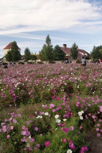 四季折々で開花する美しい花々を鑑賞できるほかに、農業体験、クラフト体験、動物とのふれあい、巨大アスレチックなどを楽しむことができるブルーメの丘は、滋賀県蒲生郡日野町に位置する農業公園です。緩やかな傾斜地となっているお花畑では、毎年9月下旬から11月上旬にかけて約100万本のコスモスが開花します。