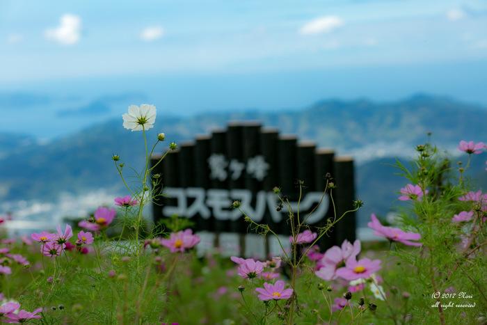 鷲ヶ峰コスモスパークは、標高586.2メートルの鷲ヶ峰の山頂に位置するコスモス畑です。