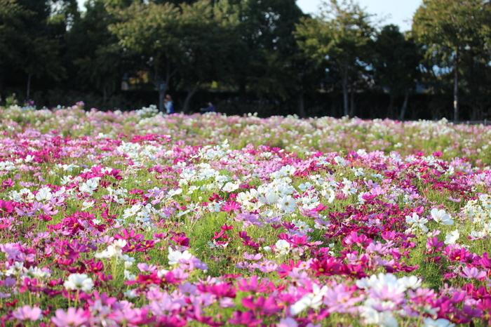 濃淡ピンク、白色のコスモスが秋空に向かって花を咲かせる様は可憐で、鑑賞者の心を和ませてくれる不思議な魅力を持っています。