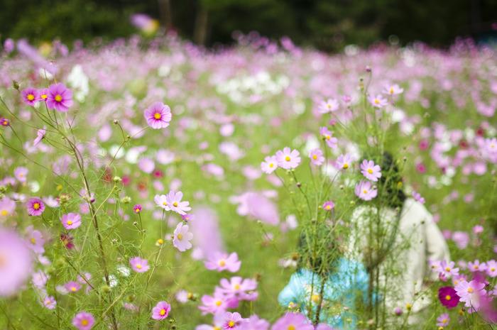 とのよコスモスの里のコスモスは背が高く、大人の背丈ほどもあります。よく整備された園内の遊歩道は、まるでコスモスの並木のようで、散策を楽しんでいると、色鮮やかな花々に包まれるような感覚を味わうことができます。