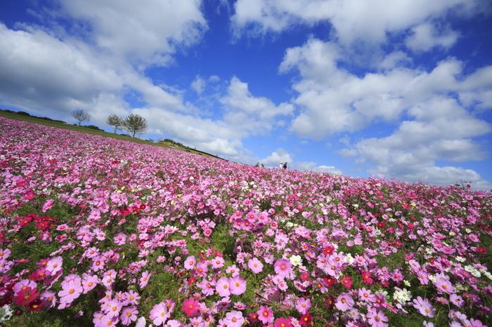 あわじ花さじきは、近畿地方の中でも指折りの花の名所しられている県立公園です。瀬戸内海に浮かぶ淡路島北部の丘陵地帯の高原約15ヘクタールの敷地は花々の絨毯となり、秋になると一面のコスモス畑が現れます。
