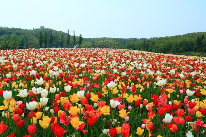 北陸道長岡ICからほど近い場所に位置する「国営越後丘陵公園」は、春になるとチューリップ畑が見頃を迎えます。 辺り一面を覆いつくす、色とりどりのチューリップは、うっとりするほどの美しさ。  メインの「花の丘」では、約3,000㎡に広がるチューリップ畑を堪能することができます。
