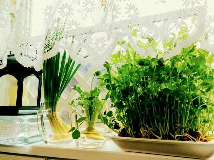 豆苗がポピュラーですが、他にも、お味噌汁の青菜として活躍してくれる「わけぎ」や「葉付き大根」なども育てられますよ。カビなどに気をつけながら、水は小まめに取り替えましょう。