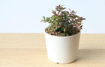 こちらはなんとそば猪口サイズの小さな植木鉢です。日本六古窯のひとつである常滑で作られています。とてもシンプルで、和風にも洋風にも使えます。