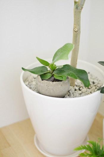 背の高い観葉植物の根元のところにころんとしたプラントポットを置いてあげると、まるで親子のような優しい雰囲気が出来上がりました。寂しくなりがちな根元の飾り方のお手本にしたいですね。