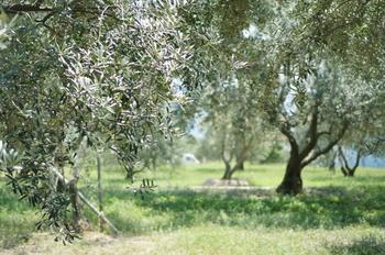 小豆島の名産といえば、オリーブです。小豆島をお散歩していると至る所に、緑豊かなオリーブ園を拝むことができます。自然に癒される素敵な場所なのです。